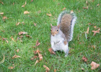 Rjava veverica, London, Anglija